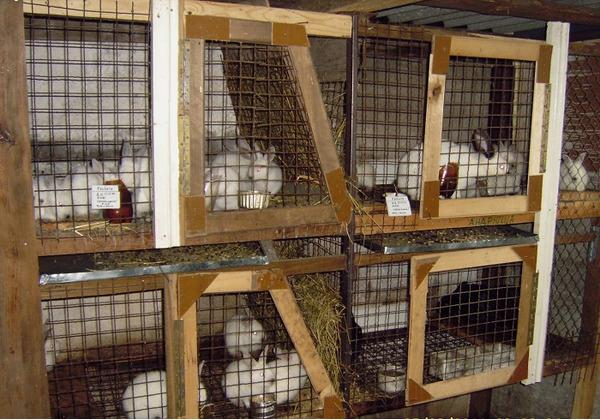 Особенности успешного разведения кроликов